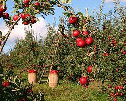 Beginn der Apfelannahme 2020